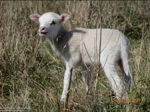 Schaf -  (Mensch, Tier, Gesellschaft) - Gedichte - Gedanken