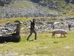 Schwein (Mensch, Tier, Gesellschaft) Gedichte - Gedanken - Aphorismen