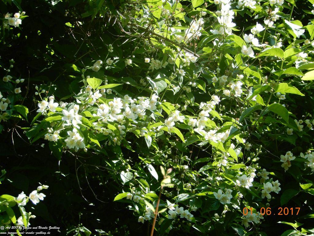 Bauernjasmin, Pfeifenstrauch -Philadelphus coronarius -