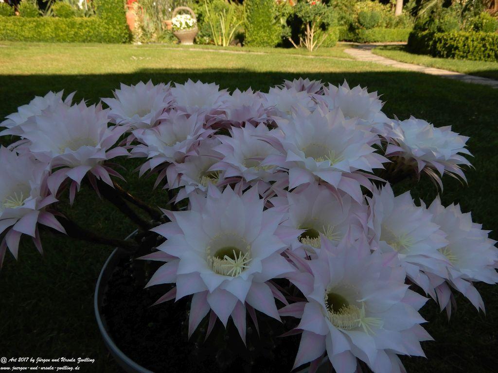 Echinopsis ein Tag und Nacht blühender Kaktus (19 Blüten)
