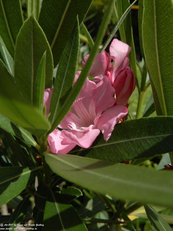 Oleander (Nerium oleander) - Bürobllick