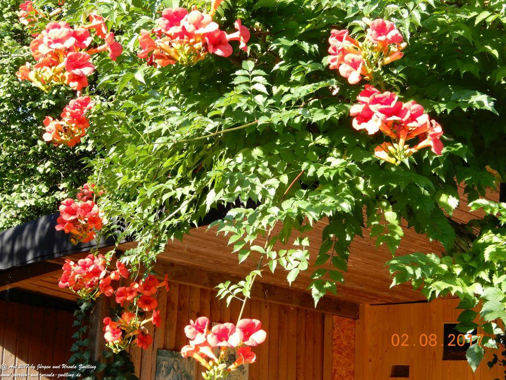 Amerikanische Klettertrompete (Campsis radicans)