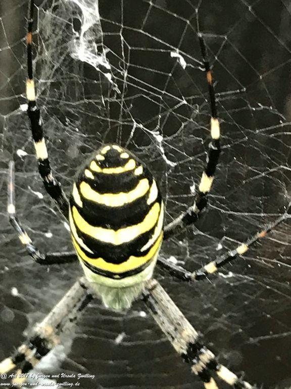Wespenspinne (Argiope bruennichi) (auch Zebraspinne, Tigerspinne oder Seidenbandspinne