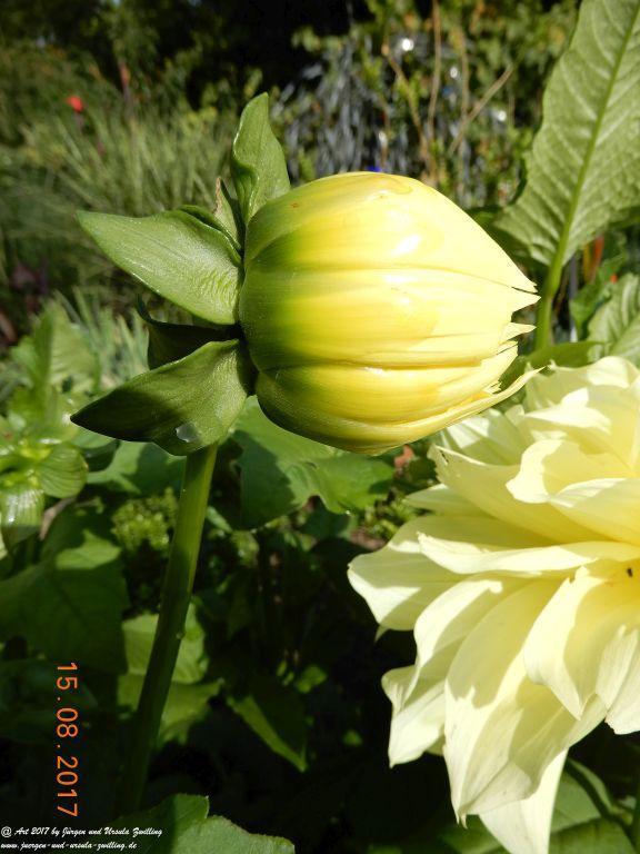 Dahlien (Dahlia) in gelb