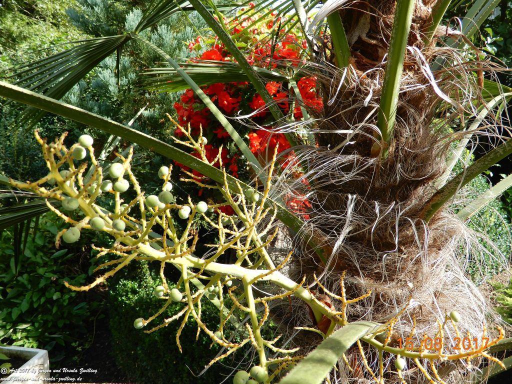 Dattel Obst von unseren Palmen (erstmals)