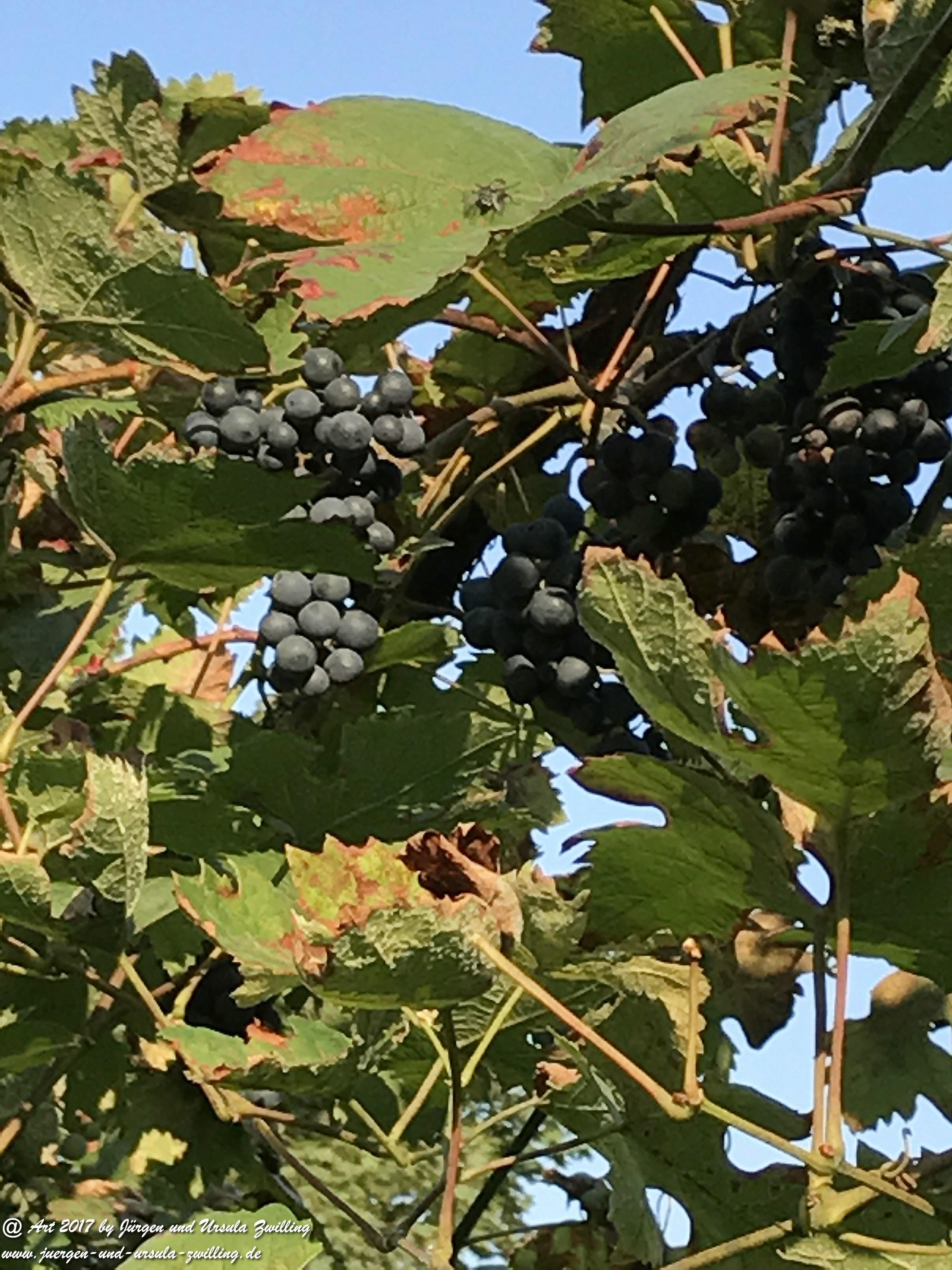 Weintrauben - Weinreben - Vitis