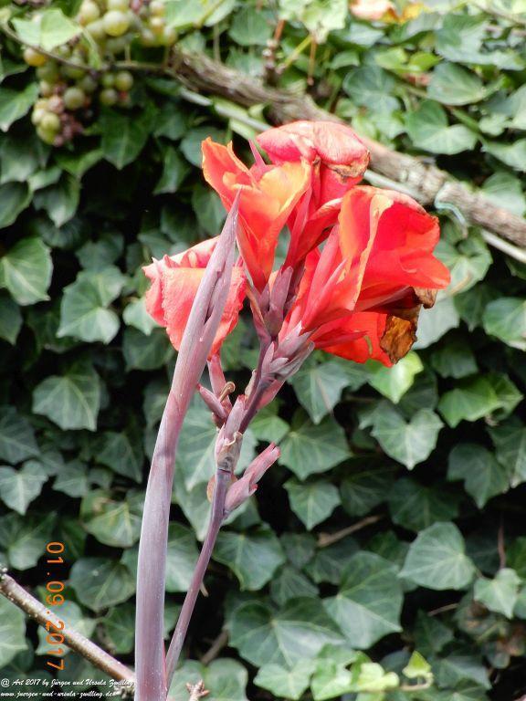 Blumenrohr (Canna)