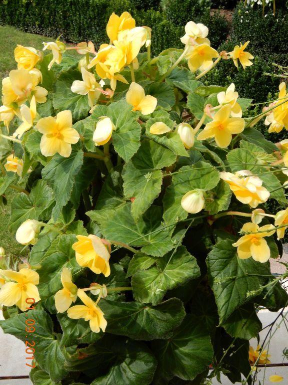 Begonien (Begonia),  Schiefblatt