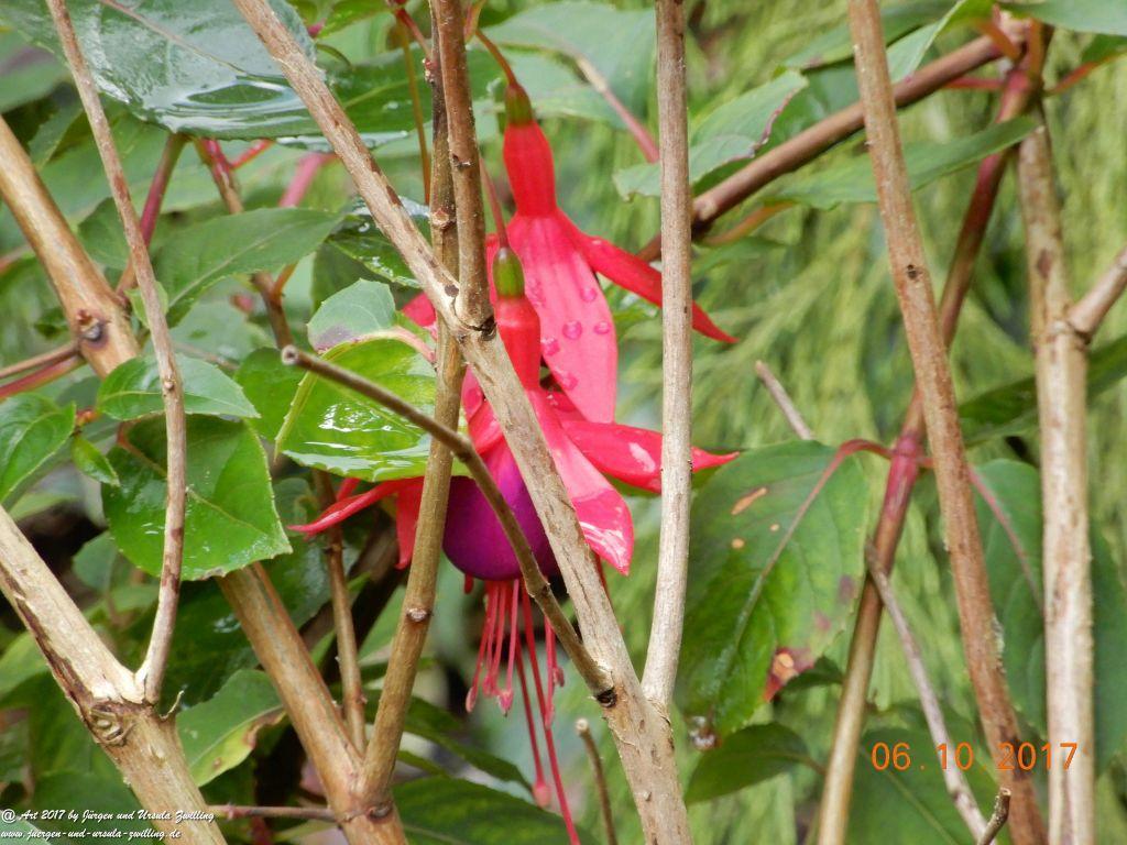Fuchsien (Fuchsia) -winterhart