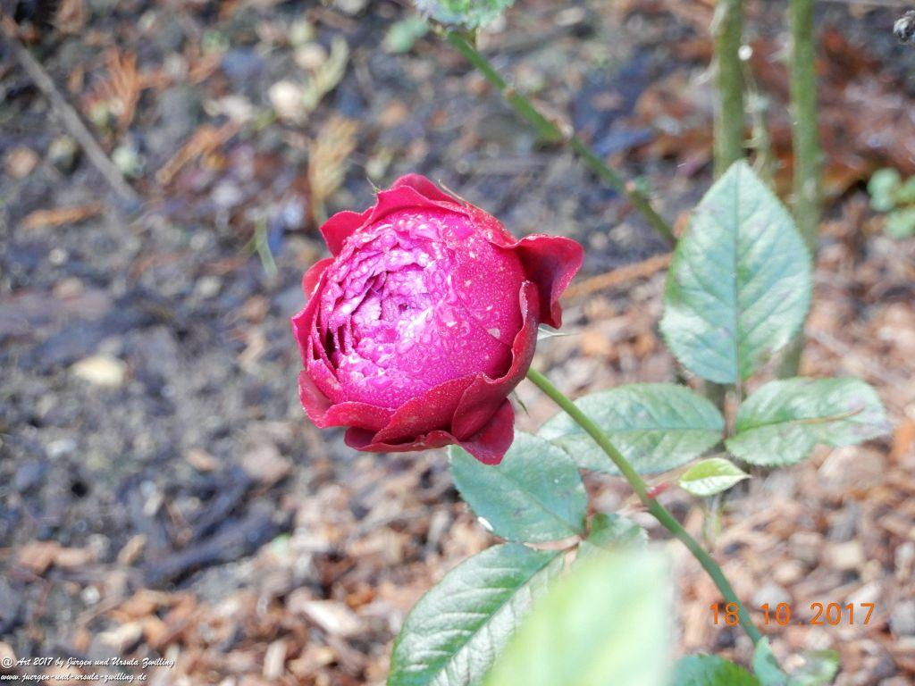 Oktober - Rose