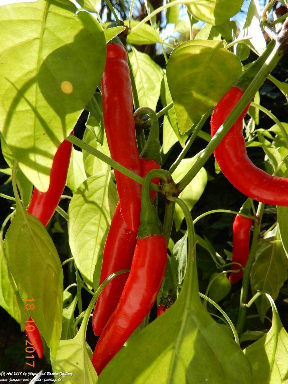 Chili  vor der Ernte
