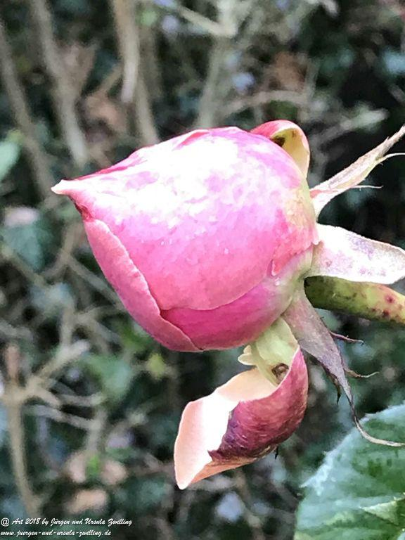 Januar - Rosen