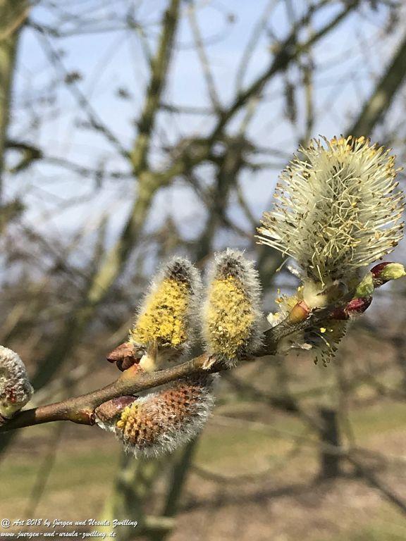 Weidenkätzchen - Blütenstart in Rheinhessen