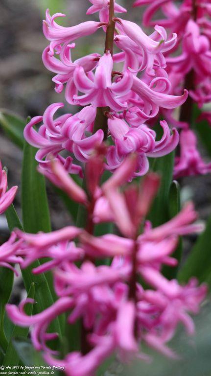 Hyazinthen (Hyacinthus) und Narzisse (Narcissus pseudonarcissus) Osterglocken
