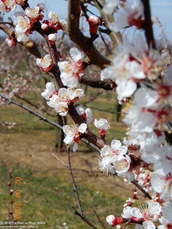 Aprikoseblüte - Aprikose  (Prunus armeniaca) - Blütenstart in Rheinhessen