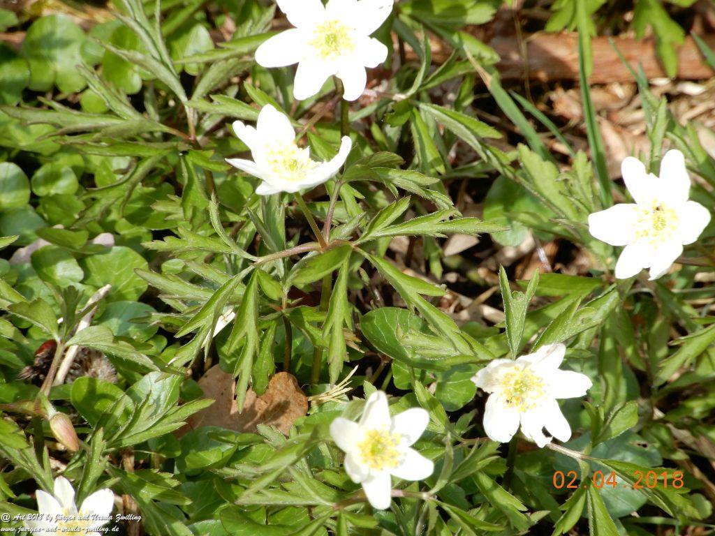 Buschwindröschen (Anemone nemorosa) - Familie Hahnenfußgewächse (Ranunculaceae) - Blütenstart in Rheinhessen
