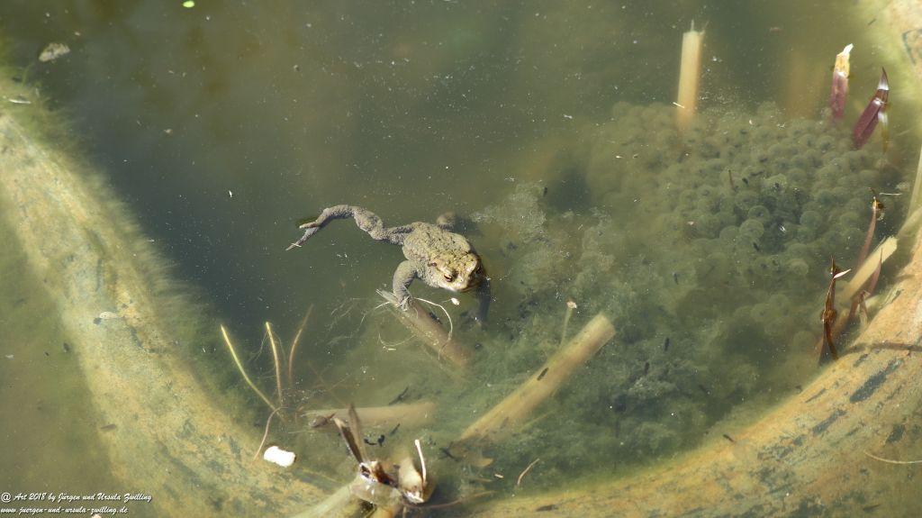Kröten (Bufo)