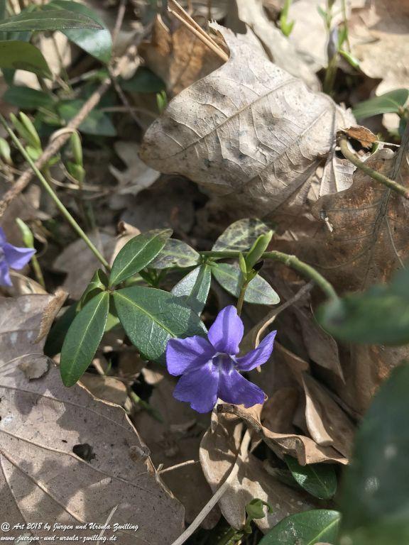 Immergrün (Vinca) - Familie Hundsgiftgewächse (Apocynaceae) - Blütenstart in Rheinhessen