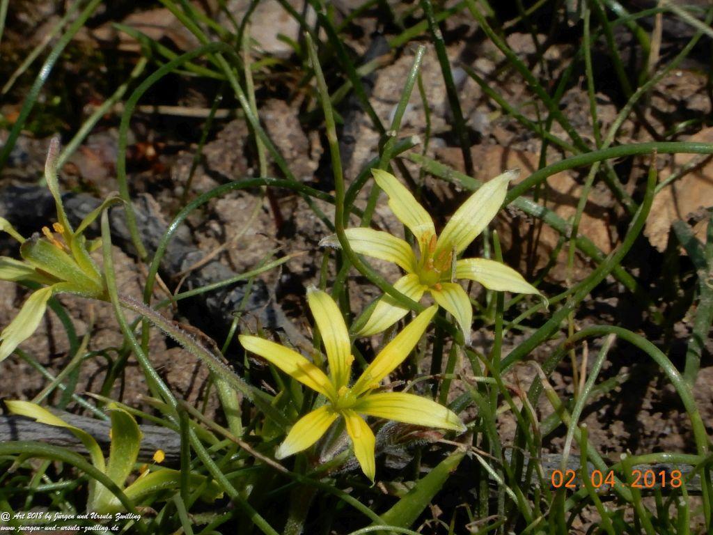Gelbsterne (Gagea) oder Goldsterne aus der Familie der Liliengewächse (Liliaceae) - Blütenstart in Rheinhessen