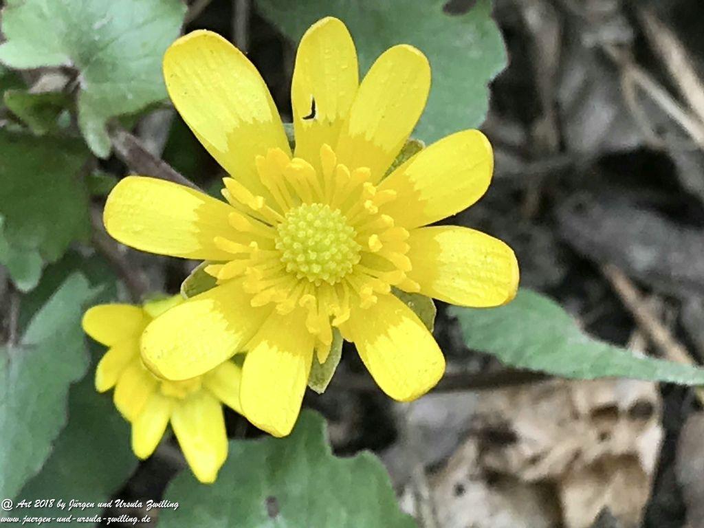 Scharbockskraut (Ficaria verna) oder Feigwurz - aus der Familie der Hahnenfußgewächse (Ranunculaceae) - Blütenstart in Rheinhessen