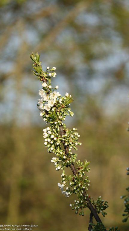 Blüte Kirschbaum