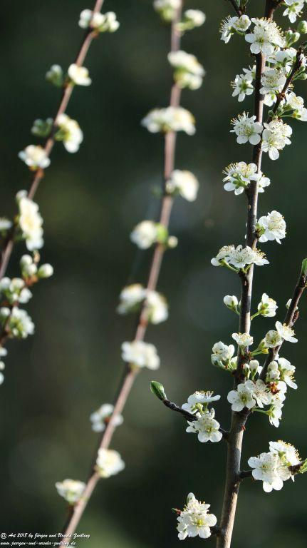 Blüte Pflaumenbaum