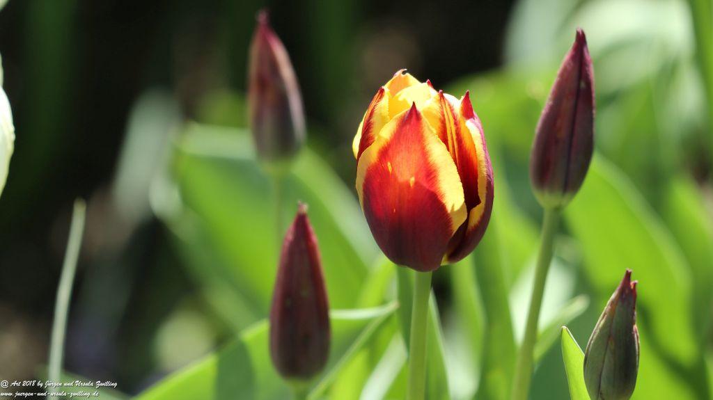 Tulpen (Tulipa)