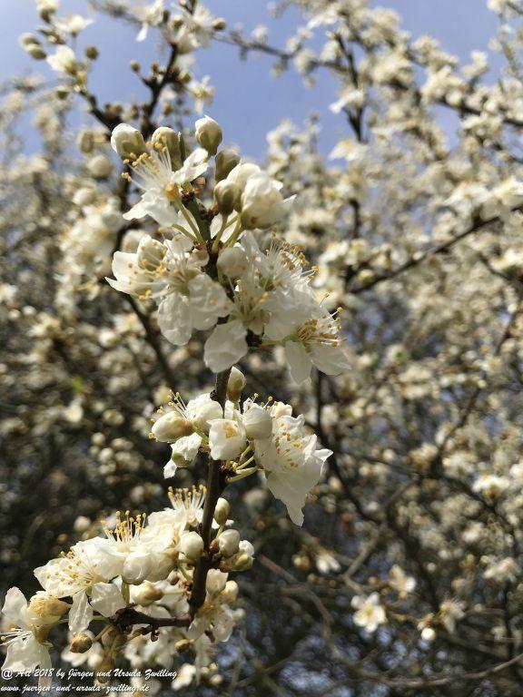 Mirabellblüte -Mirabelle (Prunus domestica subsp. syriaca) -Blütenstart in Rheinhessen