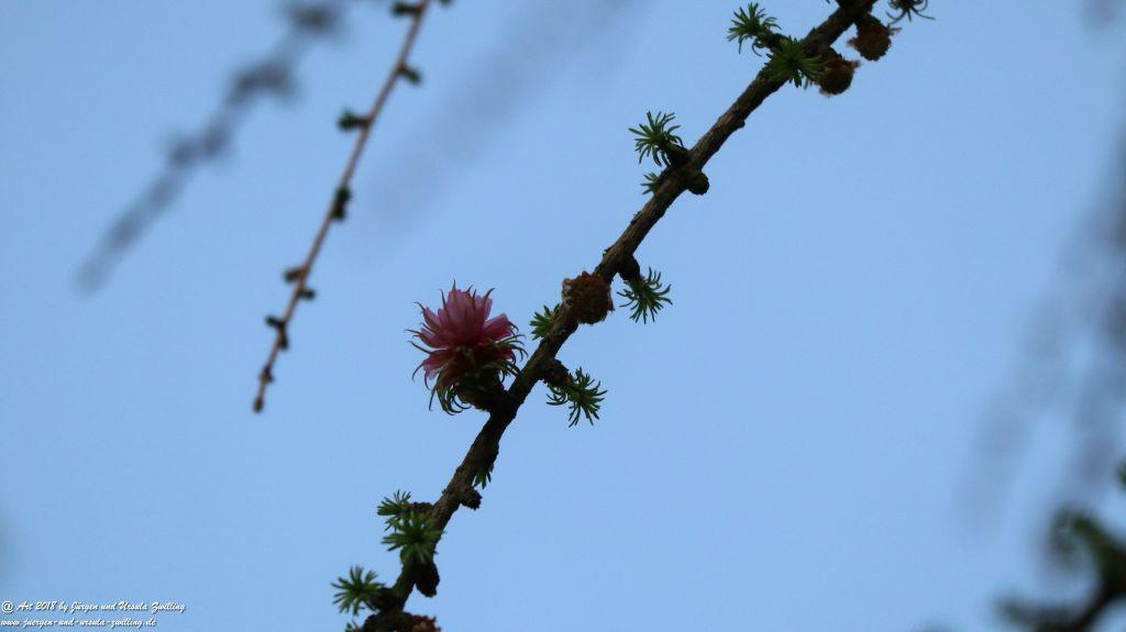 Blüte der Lärche