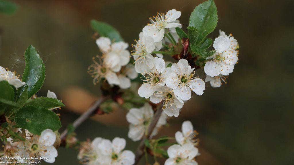 Blüte der Sauerkirsche oder Weichselkirsche
