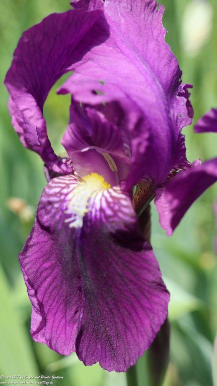 Lilien (Lilium)