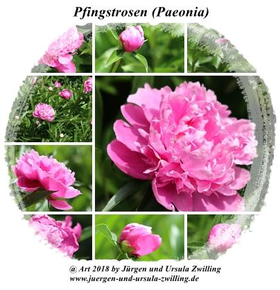 Pfingstrosen (Paeonia)