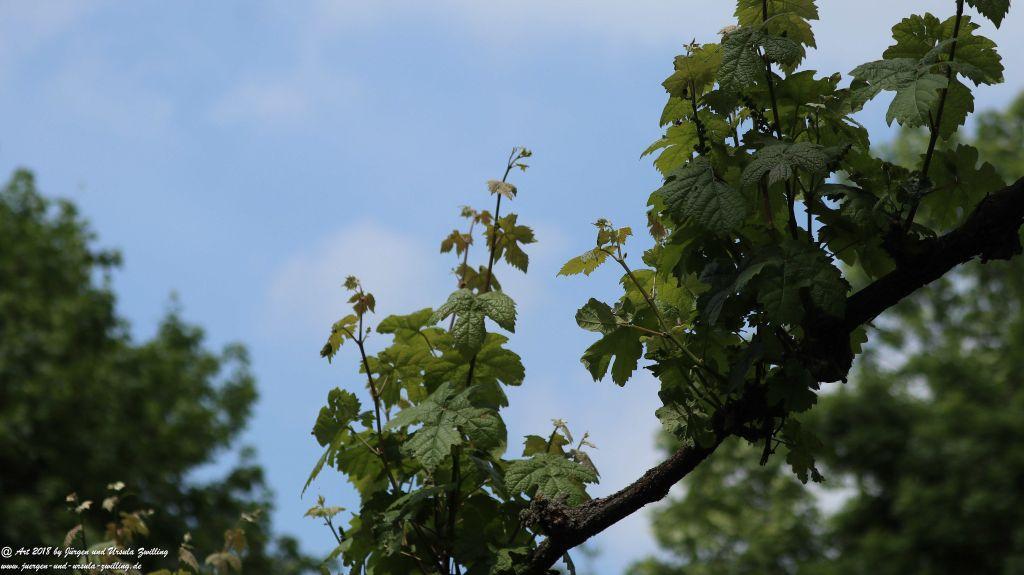 Weinreben (Vitis)
