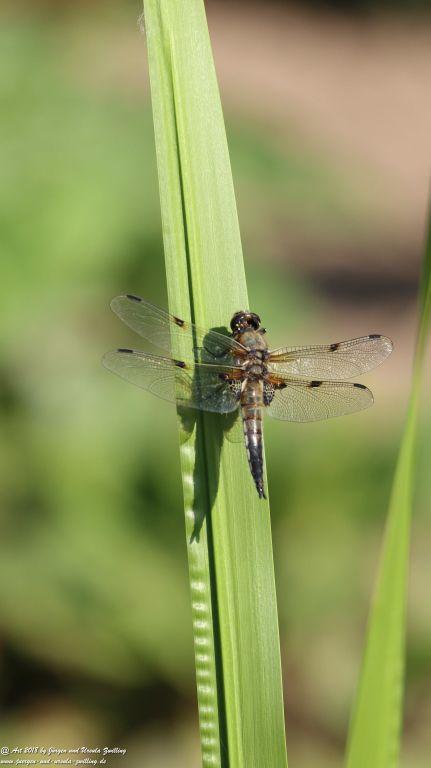 Libellen (Odonata)