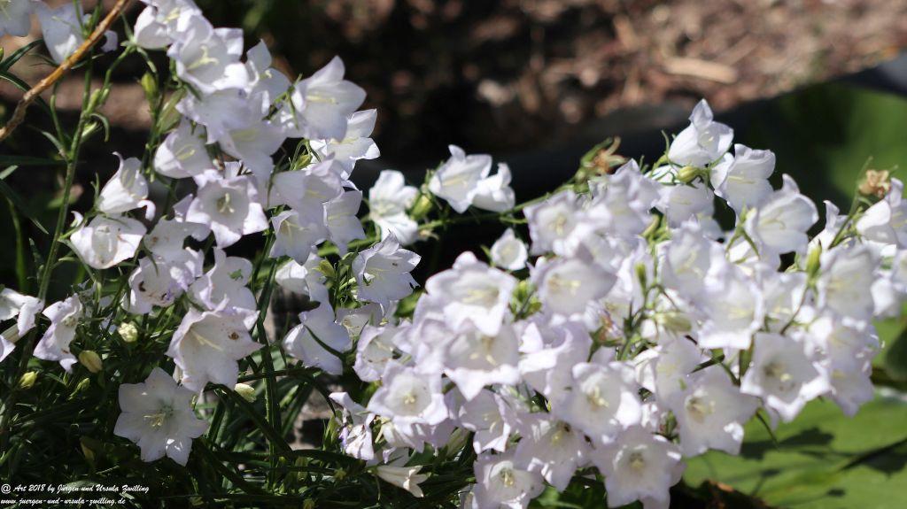 Glockenblumen (Campanula)