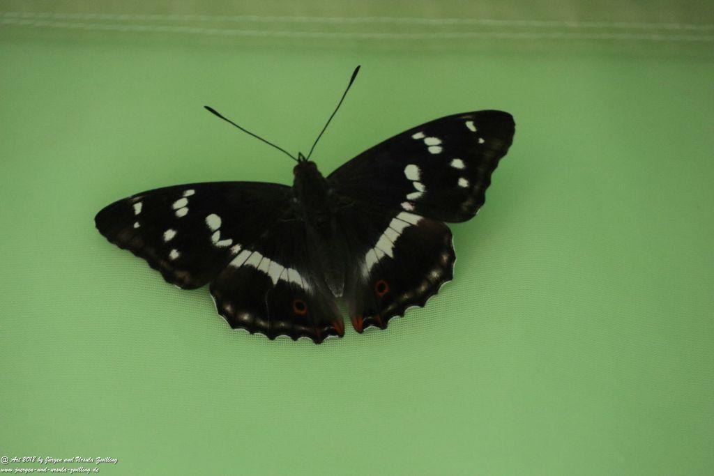 Großer Schillerfalter - Kleiner Eisvogel - Schmetterling -Gattung Apatura
