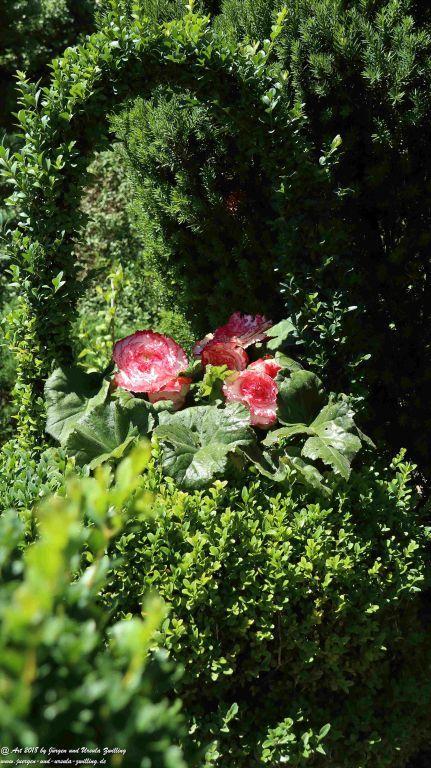 Begonie im Buchsbaum - Korb