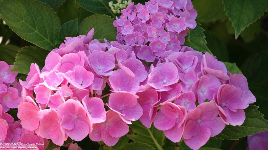 Hortensien (Hydrangea)