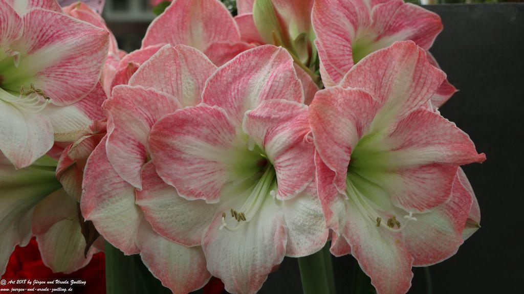 Amaryllis Amaryllidaceae im Keukenhof in Lisse Niederlande - Nordsee
