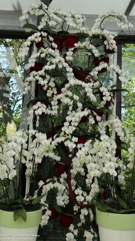 Orchideen (Orchidaceae) im Keukenhof in Lisse Niederlande - Nordsee