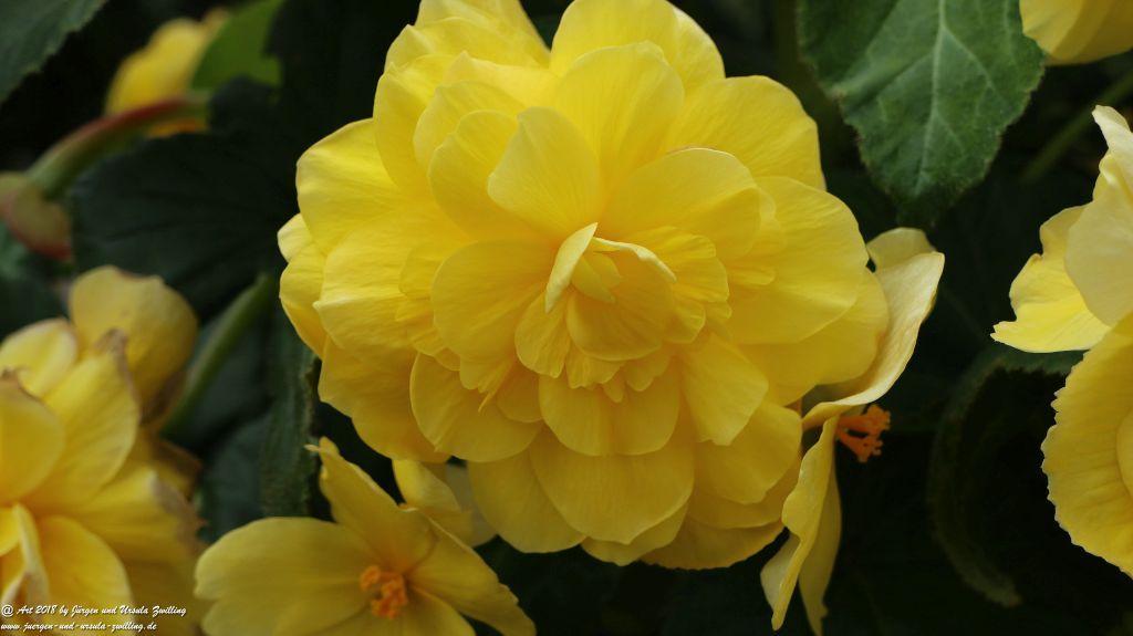 Begonien (Begonia),  Schiefblatt in gelb