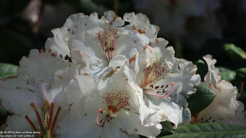 Rhododendron und  Azaleen im Keukenhof in Lisse Niederlande - Nordsee