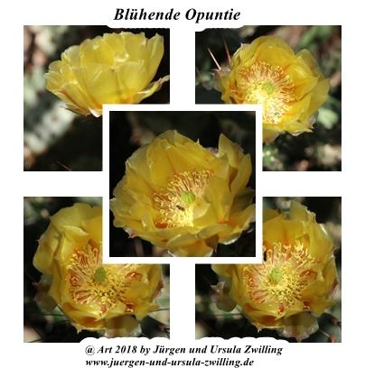 Blühender Feigen  Kaktus Opuntie