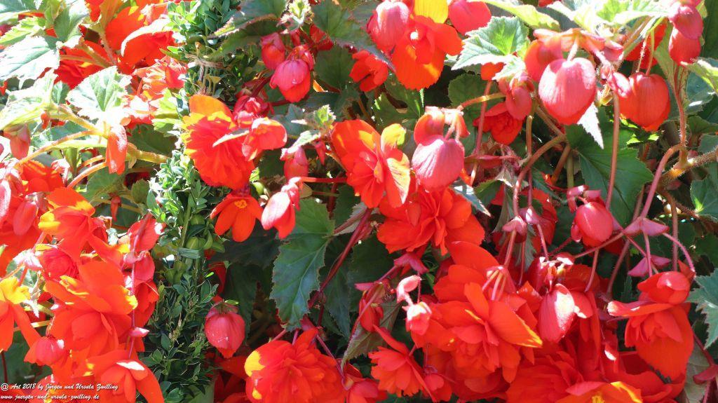 Begonien (Begonia),  Schiefblatt in rot