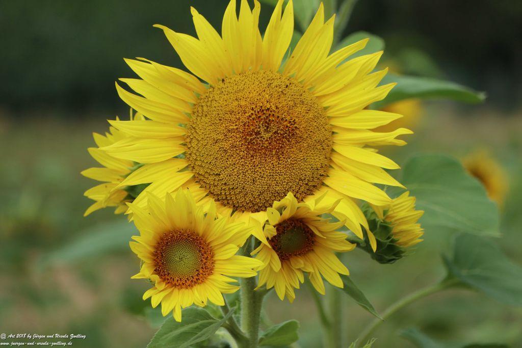 Sonnenblume (Helianthus annuus) - Rheinhessen -Mainz
