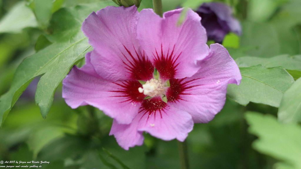 Hibiskus (Hibiscus) Eibisch