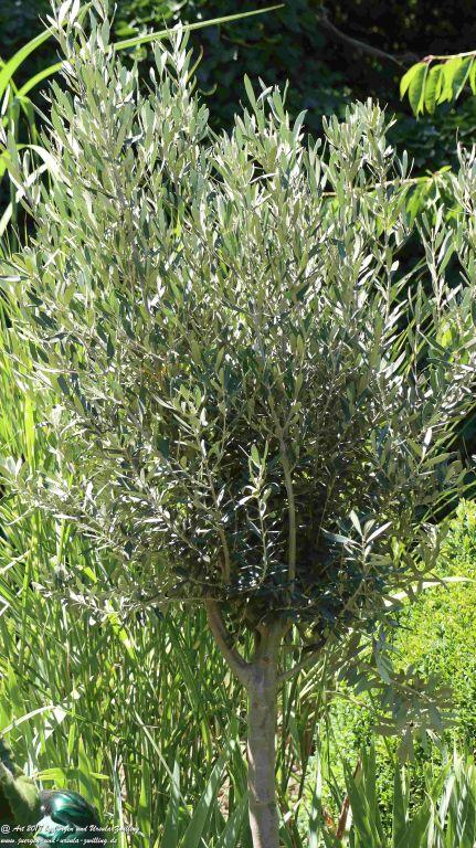 Olivenbaum (Olea europaea)