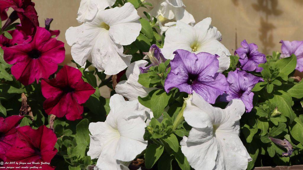 Petunien (Petunia)