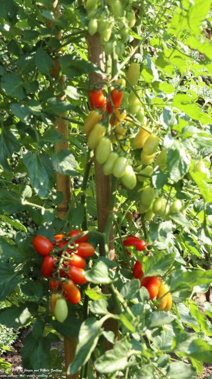 Tomaten - Tomatenbaum