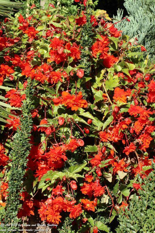 Begonien - Schiefblatt (Begonia)